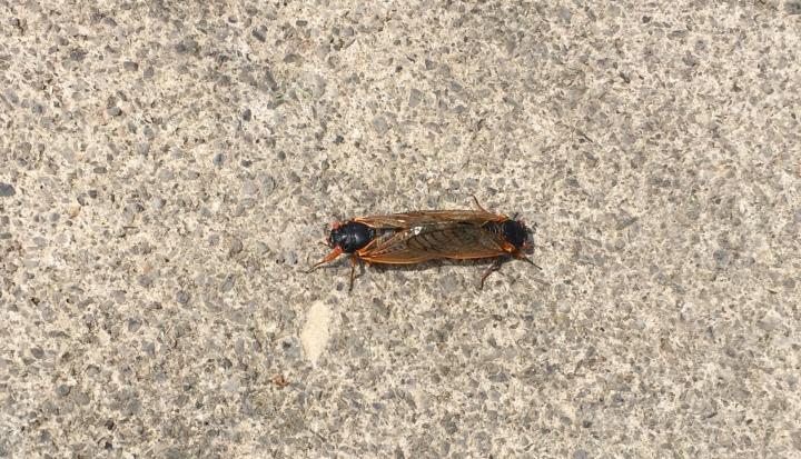 17 year locusts